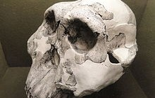australophithecus_boisei_cast_olduvai_gorge_-_springfield_science_museum_-_springfield_ma_-_dsc03368